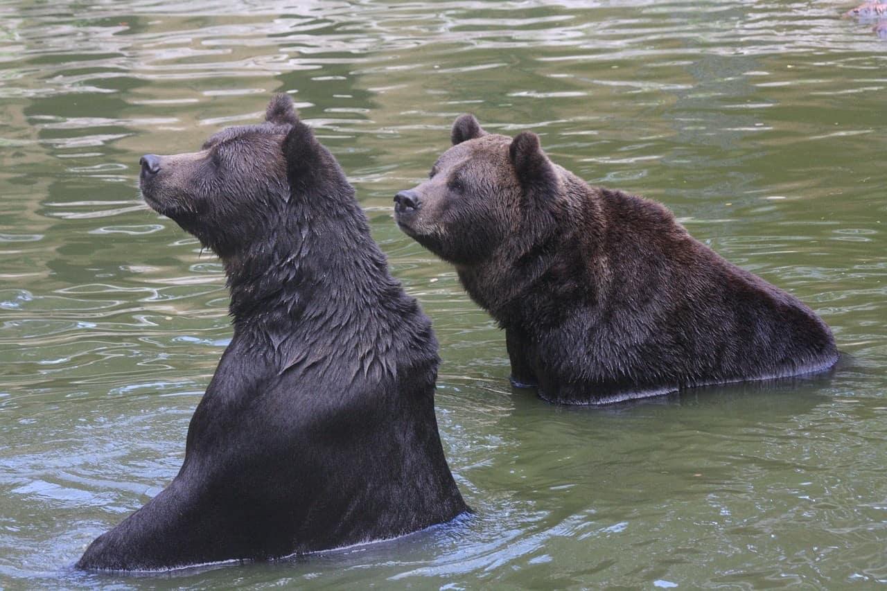 Curious-Bears